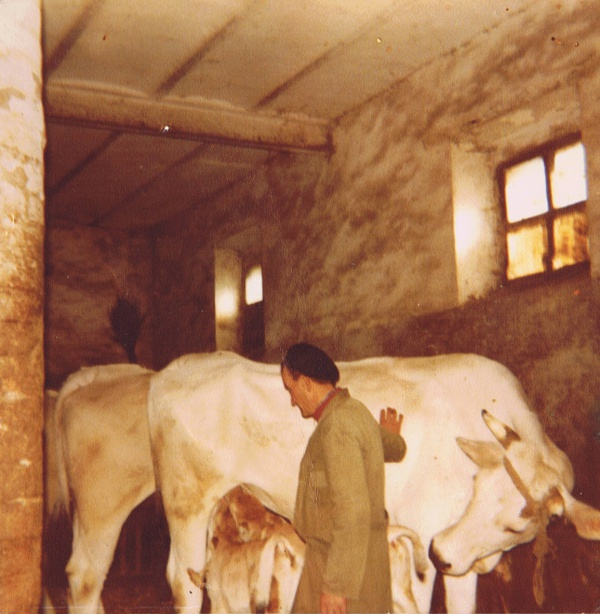 Historical photo of the day: cows in the stables of Casale Monticchio