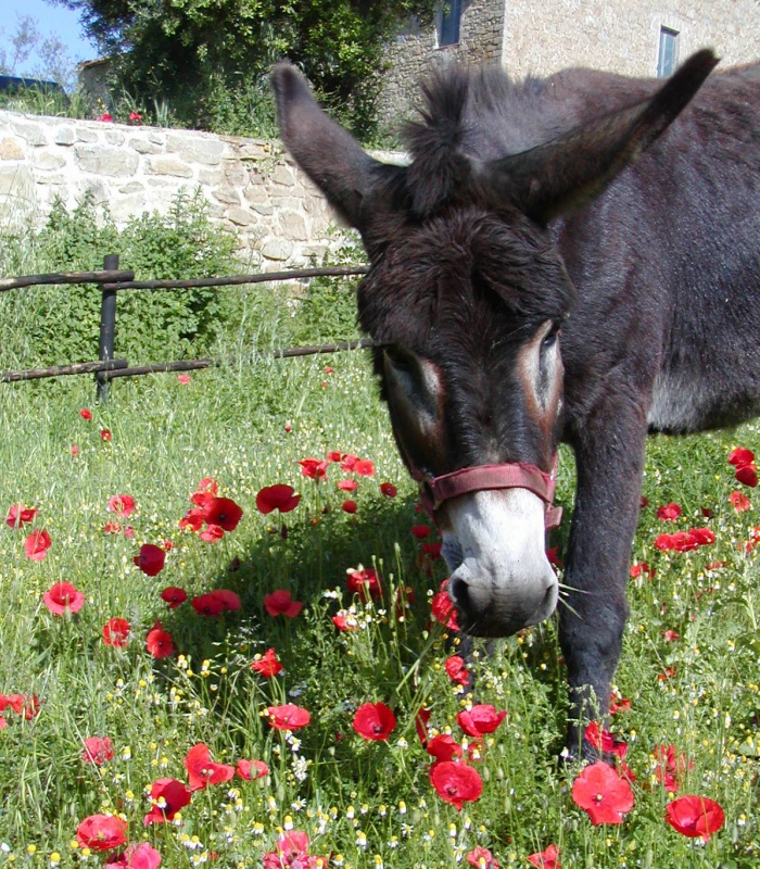 Our donkey Timo happily eating in the meadows!